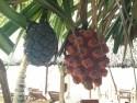 Fruit? Beachside in Phu Quoc, Vietnam